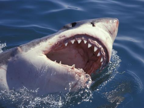 Dangerous Mouth of the Great White Shark, South Africa Photographic Print