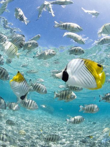 Tropical Fish in Bora-Bora Lagoon Photographic Print
