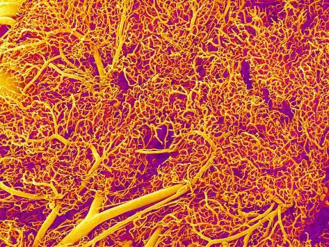 Blood Vessel Cast from Rat Pancreas Photographic Print
