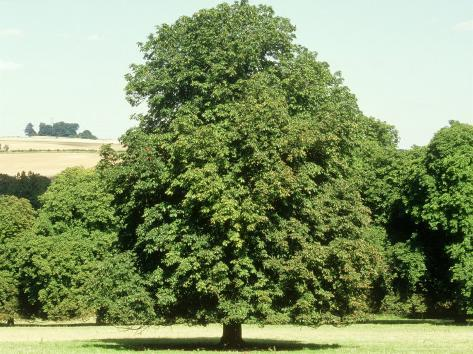 Horse Chestnut in Summer, UK Photographic Print