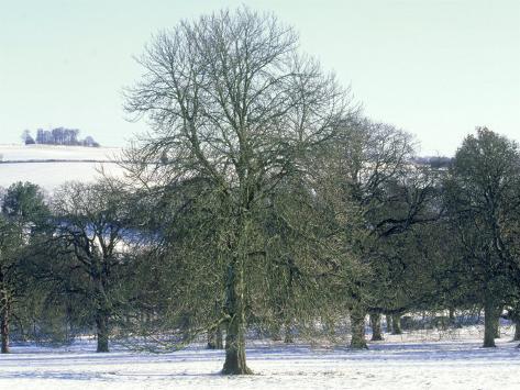 Horse Chestnut in Winter, UK Photographic Print