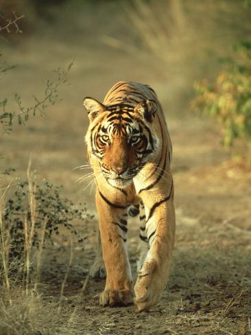 Bengal Tiger, 24 Month Male, India Photographic Print