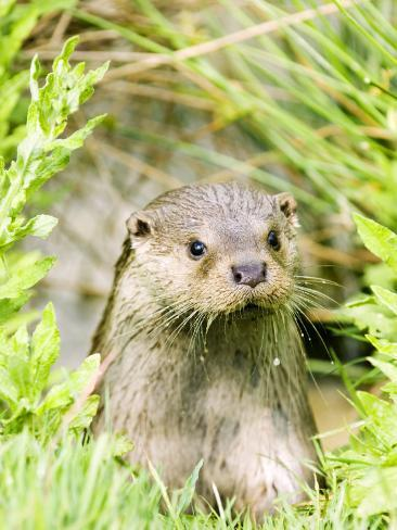 Otter Adult Emerging from Water, UK Photographic Print