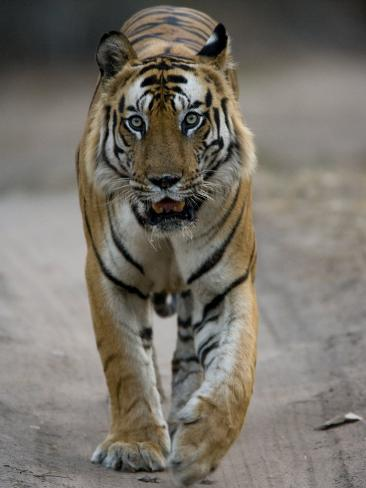 Dominant Male Indian Tiger, Bandhavgarh National Park, Madhya Pradesh State, India Photographic Print