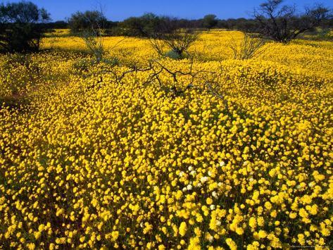 Desert Annual Wildflowers After Rain, Kalbarri National Park, Australia Photographic Print