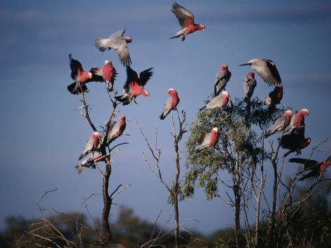 Galahs (Cacatua Roseicapilla), Currawinya National Park, Queensland, Australia Photographic Print
