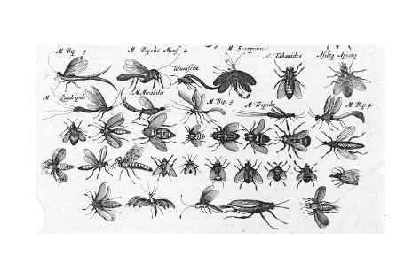 Multiple black and white illustrations of winged insects