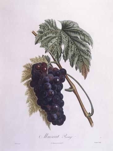 Muscat Grape Vine (Vitis Vinifera) Giclée-vedos