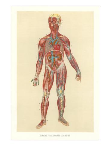 Muscles, Veins, Arteries, Nerves Art Print