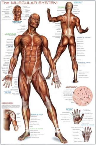 muscular system posters at allposters, Cephalic Vein