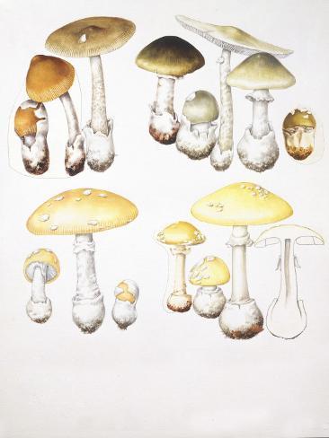 Mushrooms, Illustration Valokuvavedos