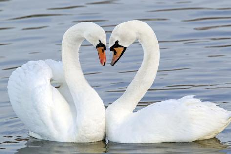 mute swan courtship display photographic print at allposters com