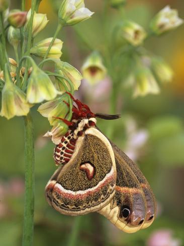 Cecropia Moth on Alium Flowers Photographic Print