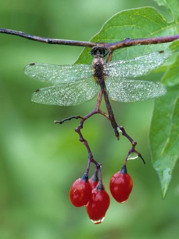 Dragonfly on Branch Photographic Print