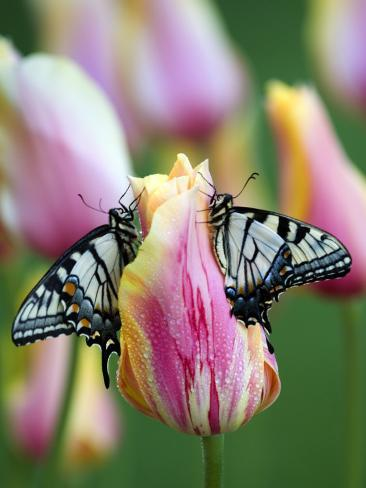Two Swallowtail Butterflies on Tulip in Early Morning Photographic Print