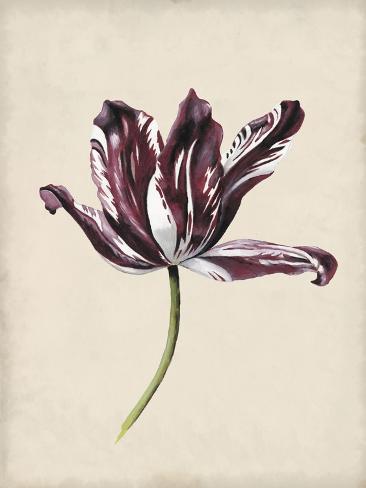 Antique Tulip Study IV Stampa artistica