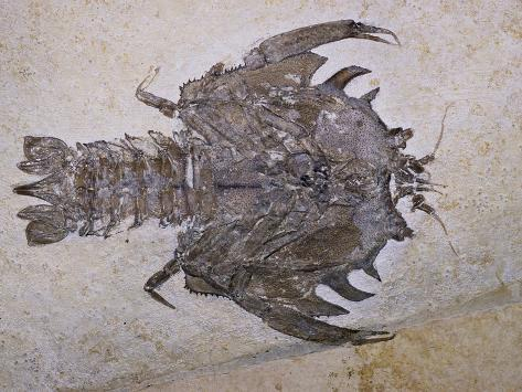 Eryon Arctiformis Crab Fossil Photographic Print