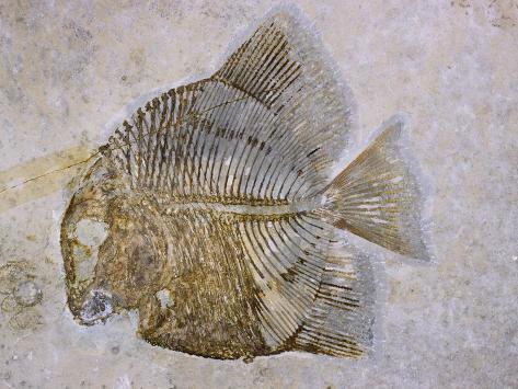 Macromesodon Macropterus Fish Fossil Photographic Print