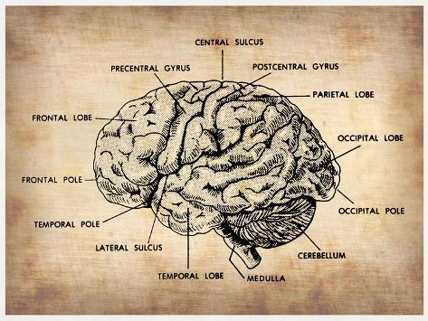 Vintage Brain Map Anat...