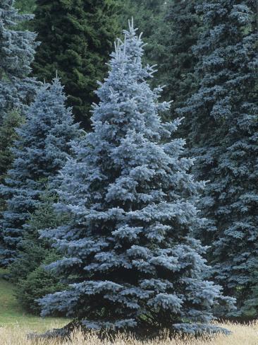 Colorado Blue Spruce (Picea Pungens), Colorado State Tree, USA Photographic Print