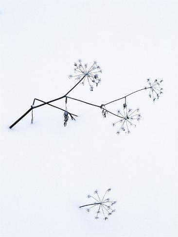 Angelica Stems, in Snow, Norway Photographic Print