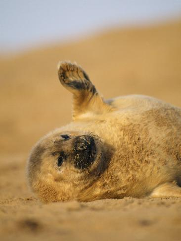 Grey Seal Pup 'Waving' Paw, England, UK Photographic Print