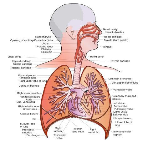 Respiratory System Anatomy Poster by niceclip - AllPosters.ca