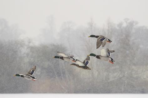 Four Mallard Drakes and a Duck Flying over Frozen Lake in Snowstorm, Wiltshire, England, UK Photographic Print