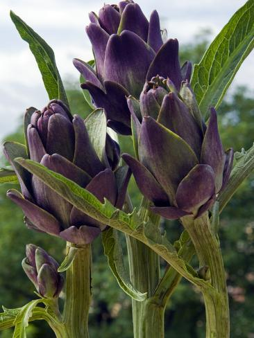 Artichoke on the Plant in the Open Air, Italy, Europe Photographic Print