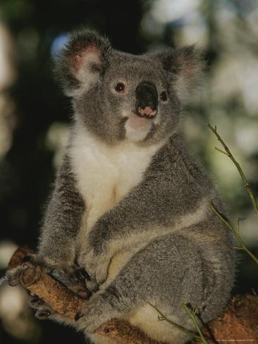 A Koala Clings to a Eucalyptus Tree in Eastern Australia Photographic Print