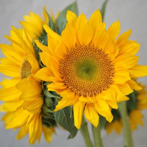 Sunny Sunflower III Photo