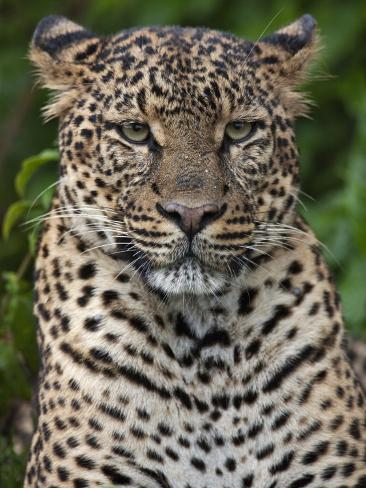 A Fine Leopard Oblivious to Light Rain in the Salient of the Aberdare National Park Photographic Print