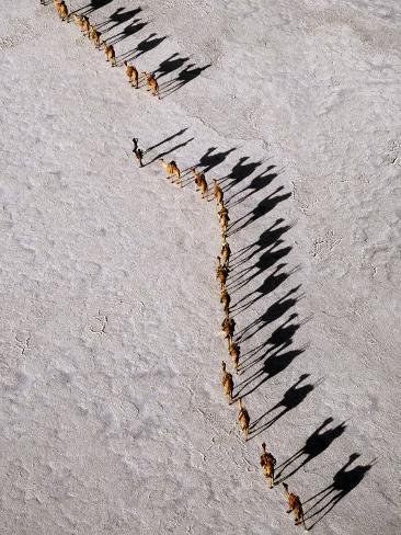 Afar Camel Caravan Crossing the Salt Flats of Lake Assal, Djibouti as Shadows Lengthen in the Late  Photographic Print