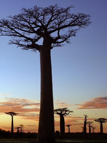 Avenue of Baobabs at Sunrise Photographic Print