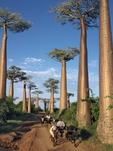 Avenue of Baobabs with Ox-Drawn Carts Photographic Print