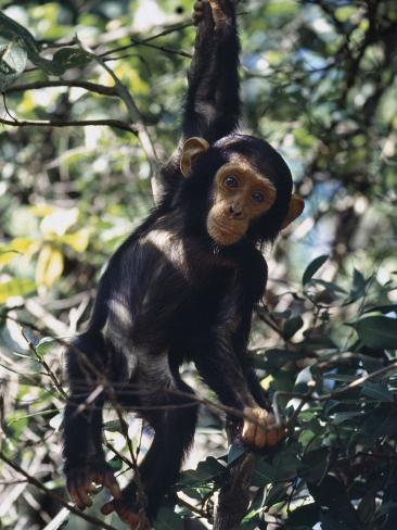 Monkey Hanging From A Tree Branch Photographic Print By
