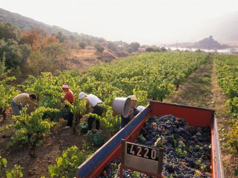 Picking Grapes, Languedoc, France Photographic Print