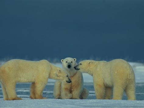 A Trio of Polar Bears (Ursus Maritimus) Playing Photographic Print