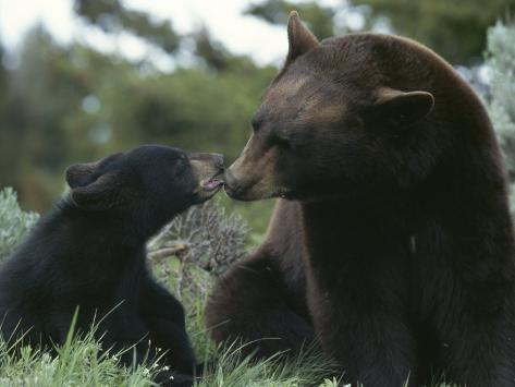 Captive American Black Bear and Cub Photographic Print