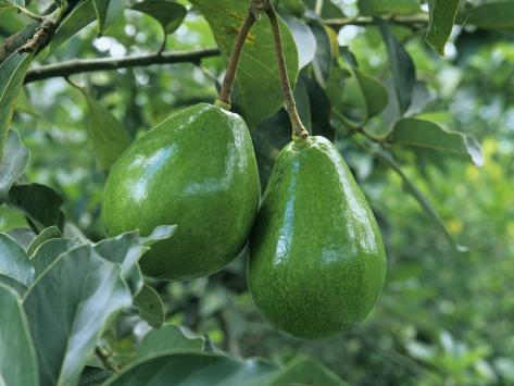 Avocado Fruits on the Tree (Persea Americana) Photographic Print