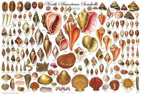 North American Shells Educational Science Chart Poster Poster