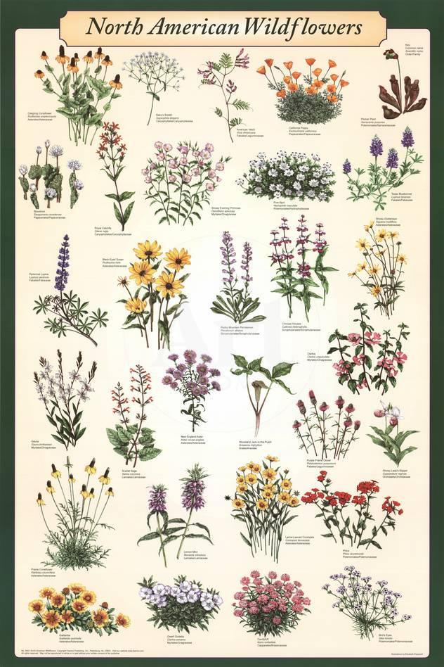 North American Wildflowers Educational Science Chart Poster Print At