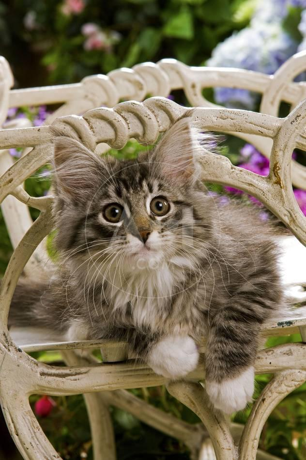 Norwegian Forest Cat Kitten On Chair Photographic Print Allposters Com