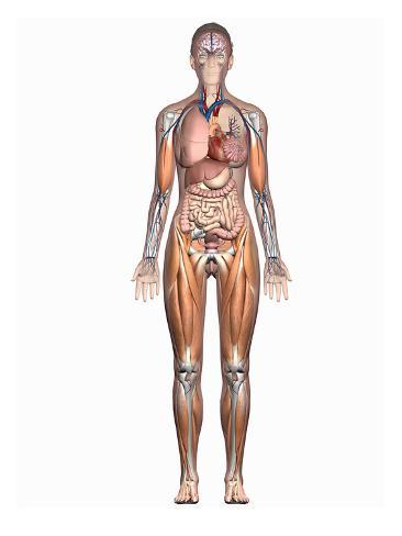 Biomedical illustration showing the internal organs of a female in biomedical illustration showing the internal organs of a female in an anterior view ccuart Images