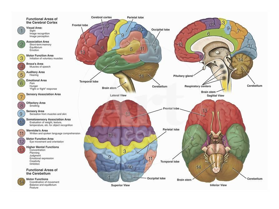 Brain from Four Different Views Using Color-Coding to Show the ...