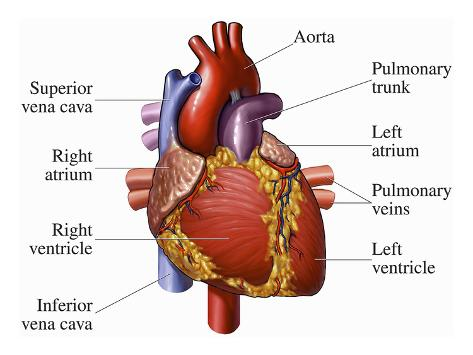 Heart Diagram Frontal View - House Wiring Diagram Symbols •