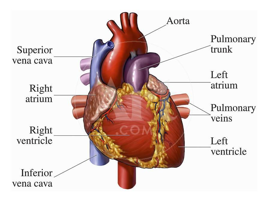 Illustration Of An Anterior Front View Of The Heart Anatomy Giclee