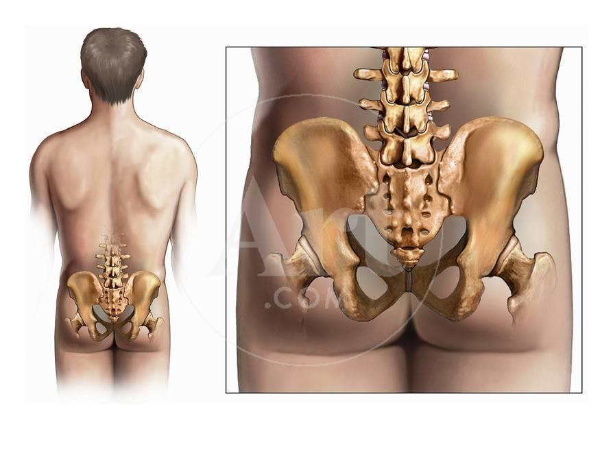 Illustration of an Posterior View of the Male Torso and the Anatomy ...