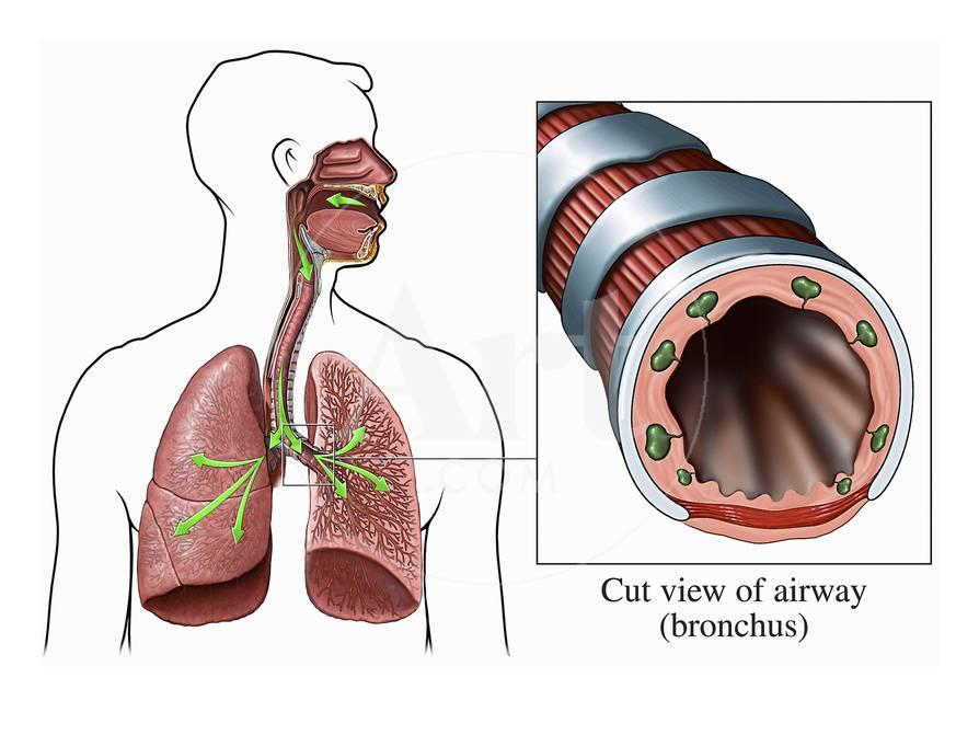 Illustration Of The Airways To The Lungs Including The Trachea And