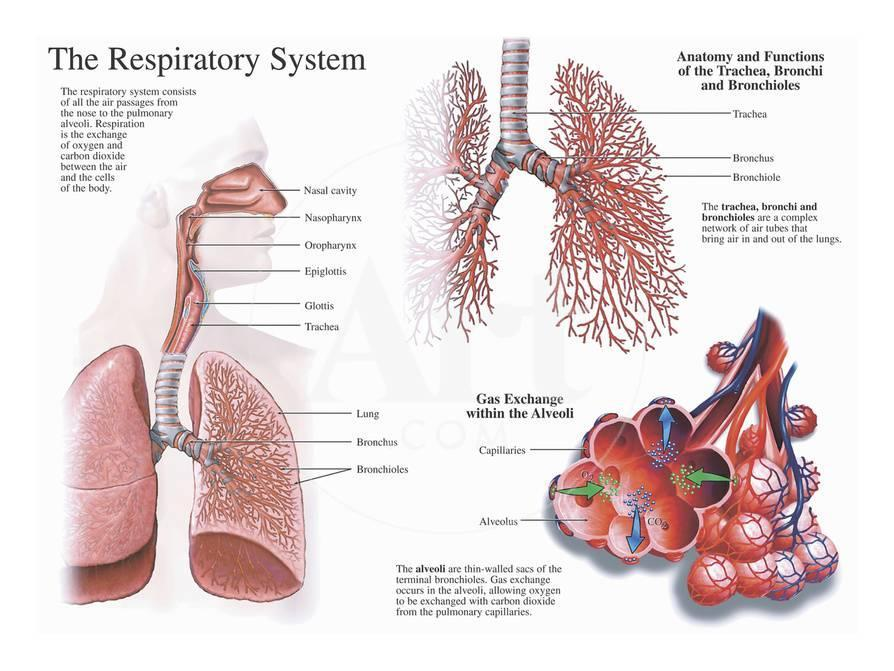Illustration Of The Anatomy Of The Human Respiratory System And
